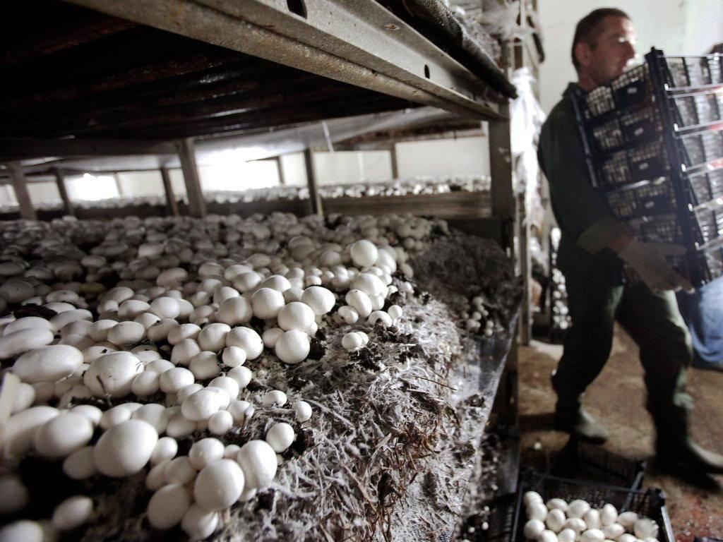 Бизнес по выращиванию шампиньонов, белых грибов, вешенок на продажу