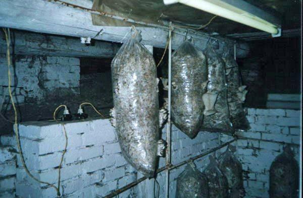 Выращивание грибов вешенок: мой опыт за 15 лет