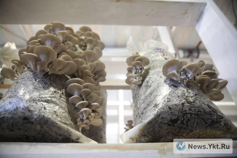 Выращивание грибов вешенка в домашних условиях — бизнес для всех