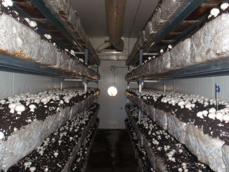 Выращивание грибов вешенки в домашних условиях - технология бизнеса