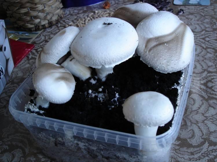 Выращивание шампиньонов в подвале: подготовка погреба и субстрата, этапы роста
