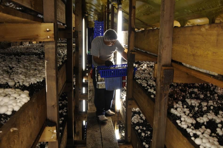 Как вырастить вкусные и полезные грибы в гараже