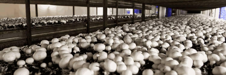 Выращивание шампиньонов в домашних условиях на продажу - технология бизнеса