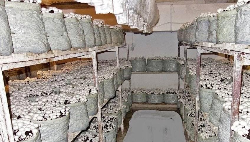 Выращивание грибов в домашних условиях в подвале для новичков